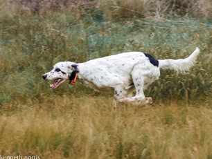 The Run of a Field Trial Dog