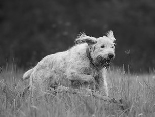 The Run of The Spinone