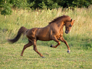 The Tennessee Walker