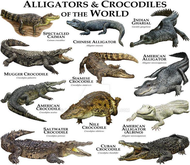 Alligator Skeleton Diagram Unique 443 Be