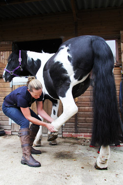 equine horse physio stretching