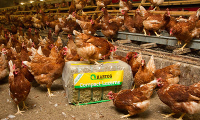 ¿Te dedicas a la cría de gallinas o al negocio de huevos?