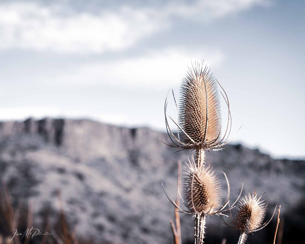 Dried Fullers Teasel flowers with desert background.