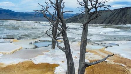 Tree at Yellowstone National Park Mammoth Hot Springs