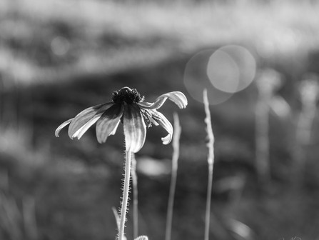 Gloriosa Daisy Reaching For The Sun, Black and White