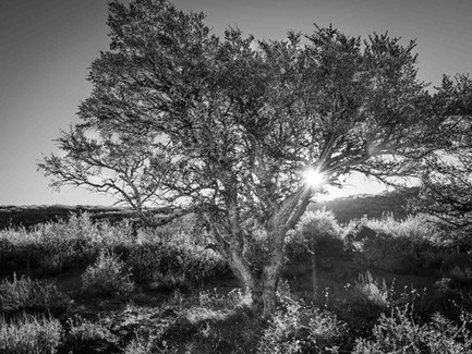Steens Mountain Wilderness, Eastern Oregon Desert - Mountain Mahogany Tree