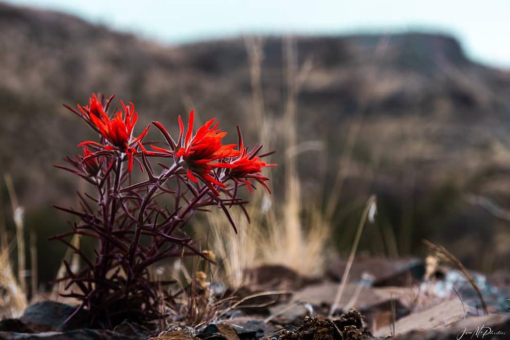 Bright red Desert Paintbrush growing in rocks.