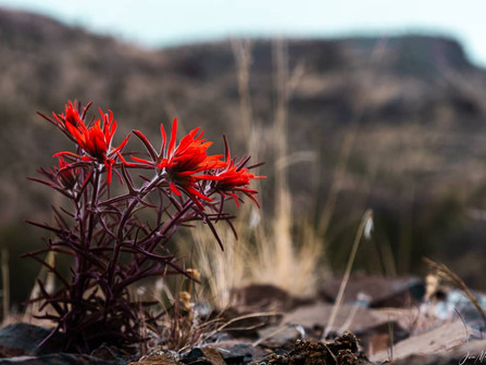 Beautiful Bright Red Desert Paintbrush Wildflowers Along The Crooked River, Oregon