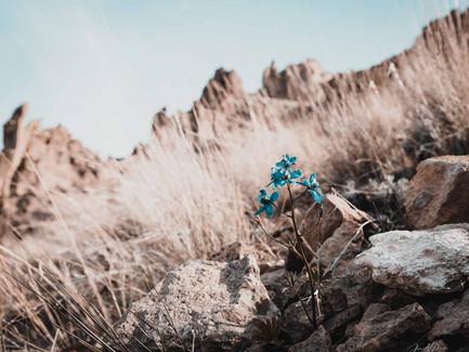 Central Oregon - Blue Larkspur At Smith Rock