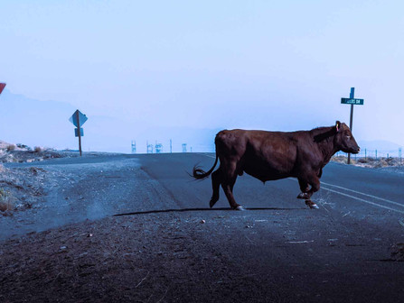 Fields, Oregon - Regal Bull Standing in Middle of Highway