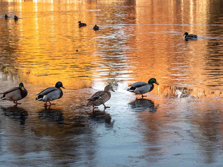 Bend Oregon - Ducks Trying to Walk on an Icy Deschutes River