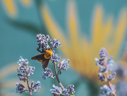 Bumble Bee on Purple Lupine Flowers Turquoise Background in Summer