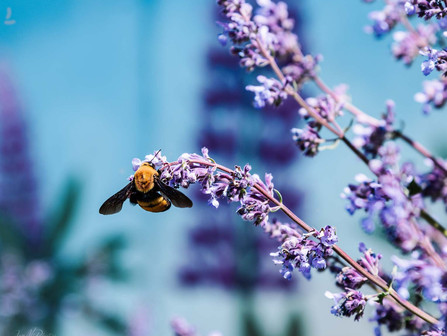 Giant Spring Bumble Bee Hanging From Purple Lupine Flowers