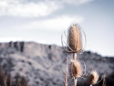 Central Oregon High Desert - Dead Fuller's Teasel at Crooked River