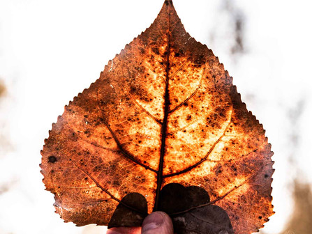 Person Holding a Broad Leaf to the Sun