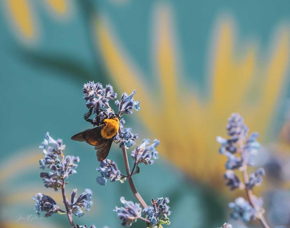 Bumble bee on Purple flowers