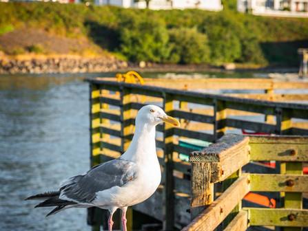 Newport, Oregon Coast - Seagull Standing on the Railing of a Fishing Dock