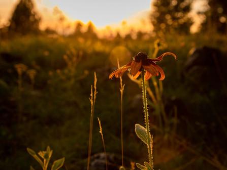 Oregon Desert Wildflowers - Yellow and Orange Gloriosa Daisy Glowing at Sunset