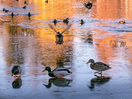 Bend Oregon - Ducks on an Icy Deschutes River