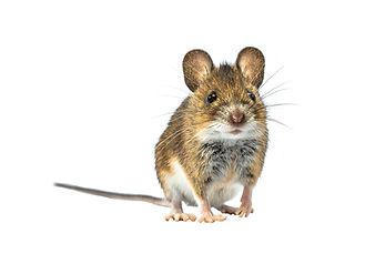 bigstock-Adorable-Wood-Mouse-apodemus--2