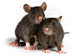 Hantavirus Facts