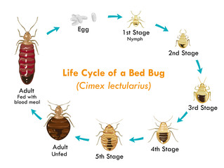 What is the Life Cycle of the Average Bedbug?