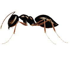 What are the Different Types of Ants Found in Canada?