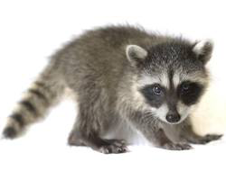 4 Reasons You Should Never Approach a Raccoon in Your Home