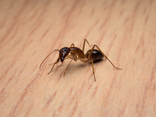 Common Signs of an Ant Infestation in Your Home