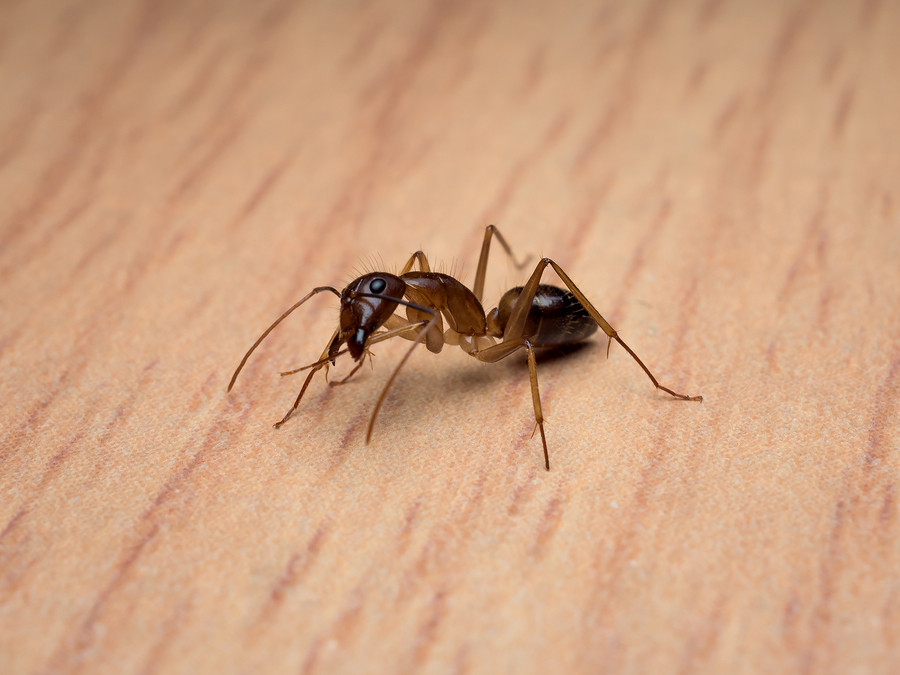 carpenter ants edmonton