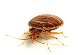Bed Bugs in Your Apartment