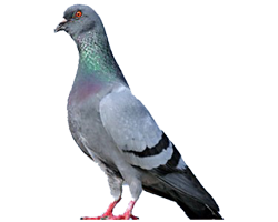 When to Call for Professional Pigeon Removal Services