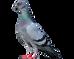 Feral Rock Pigeons