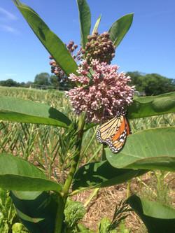 Monarch Foraging on Milkweed Flowers