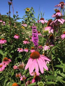 Pollinator Plantings