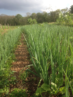 Mulched Onion Beds