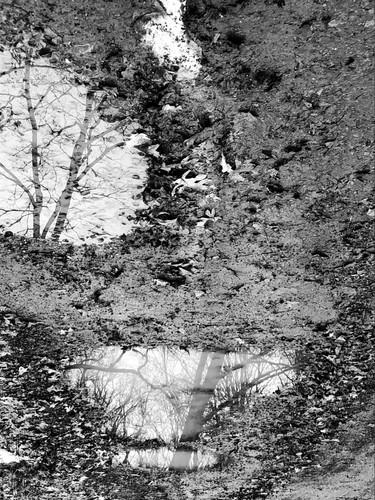 Birch in Puddles.jpeg
