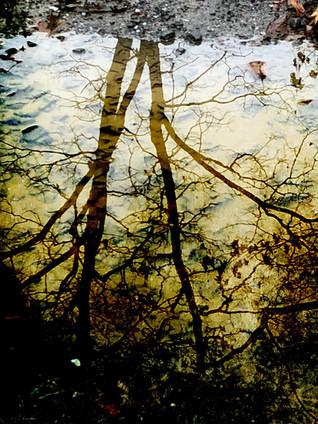 Oak in Puddle.jpg