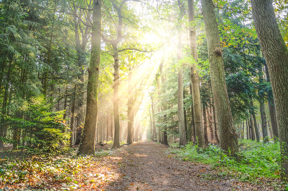 Morning sunlight pierces through old growth forest along straight hiking trail covered with leaves
