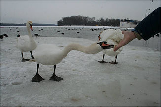 """Swans in Zemun in winter"", Mihaela Miron"