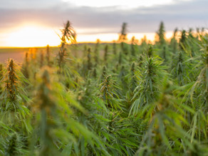 How is CBD extracted from the Hemp Plant?