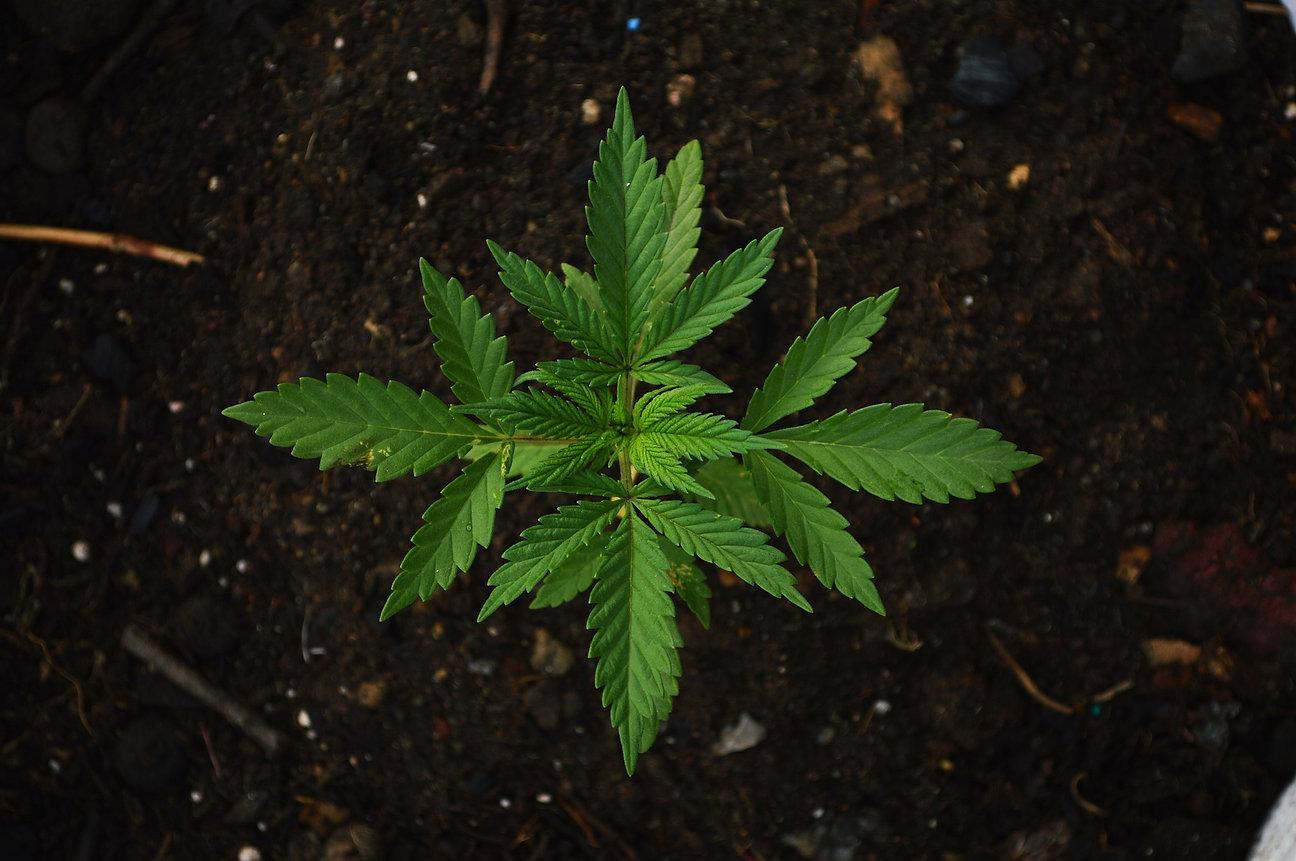 Cannabis Seedling FInal.jpg