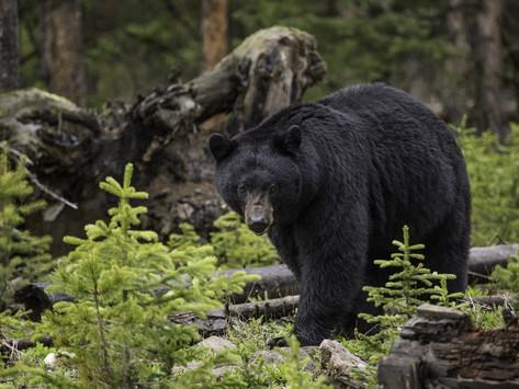 Almost a Black Bear's Edible