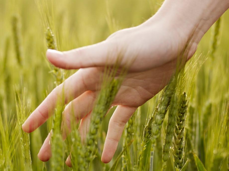 Hand brushing wheat stalks