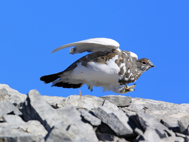 pernice bianca-Alpi GR-ottobre 2014-Gianni Marcolli