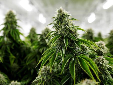 Cannabis medicinal podría ser la clave para frenar el COVID-19