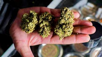 Empresa busca catadores de marihuana y les pagará 58 mil pesos al mes