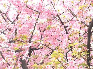 もう桜が咲いている