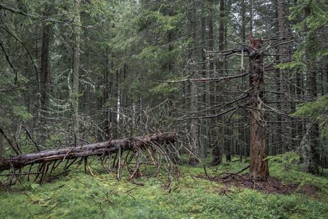 Wald-Sommer-Regen-Baum-Tragöss-Österreic