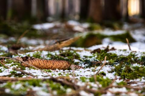 Wald-Winter-Moos-Fichtenzapfen-Baldham-B